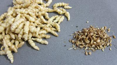 Crosnes et églefin (aiglefin) en risotto - 1.1