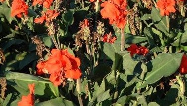 Photo : Canna Edulis comestible