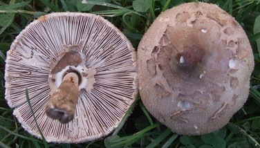 Photo : Macrolepiota konradii