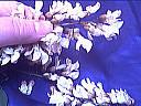 Glace aux beignets d'acacia - 9.1