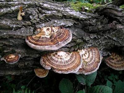 Image : Flabelliforme
