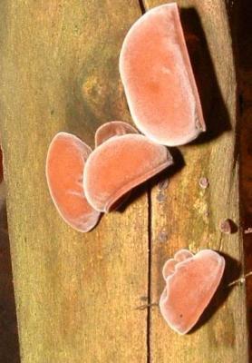 Photo : Oreilles de judas ou champignons noirs