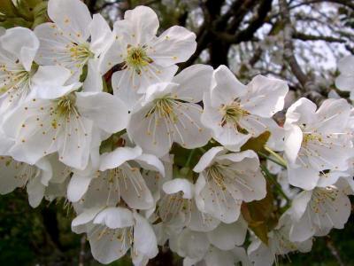 Photo : Fleurs de cerisiers