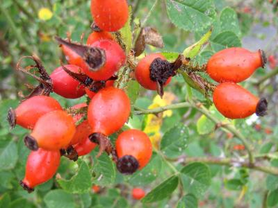 Vitamine C au jardin 37383-cynorrhodon