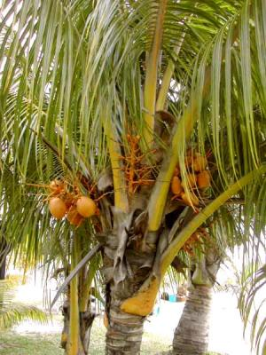 Palmier fiche palmier et recettes de palmier sur - Palmier noix de coco ...