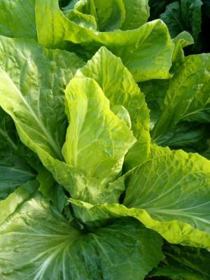 Scarole fiche scarole et recettes de scarole sur - Variete de salade d hiver ...