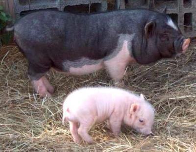 Photo : Un porc
