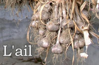 Photo : Gousses et têtes de l'ail