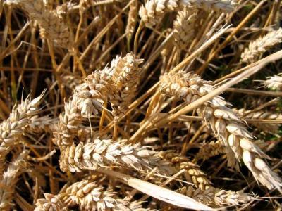 Image : Farine de blé dur