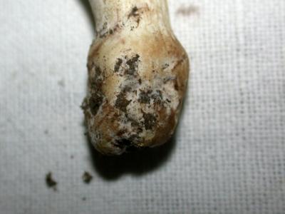 bulbe cèpe