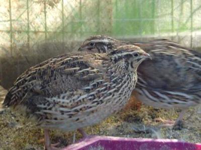Photo : Les cailles dans leur habitat