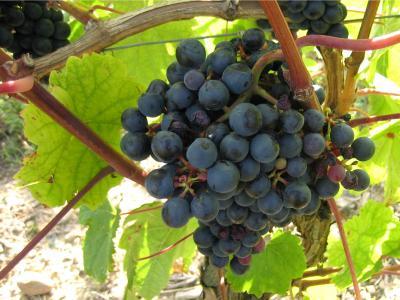 Image : Langage du vin (a)