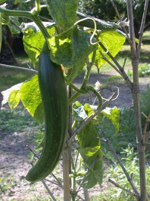 Photo : Plant de concombre