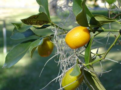 Photo : Kumquat