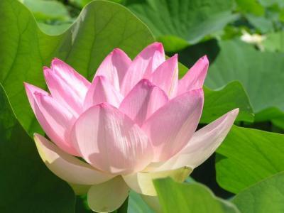 Photo : Fleur de lotus