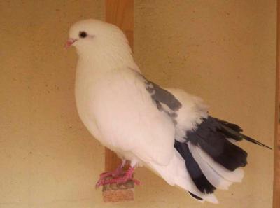 Photo : Pigeons