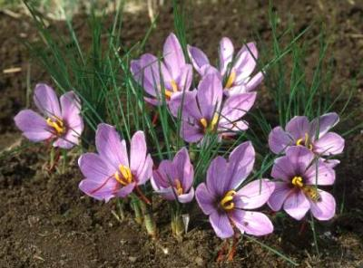 Photo : Crocus-safran