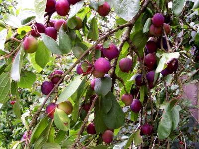 Photo : Branche d'arbre chargée de quetches